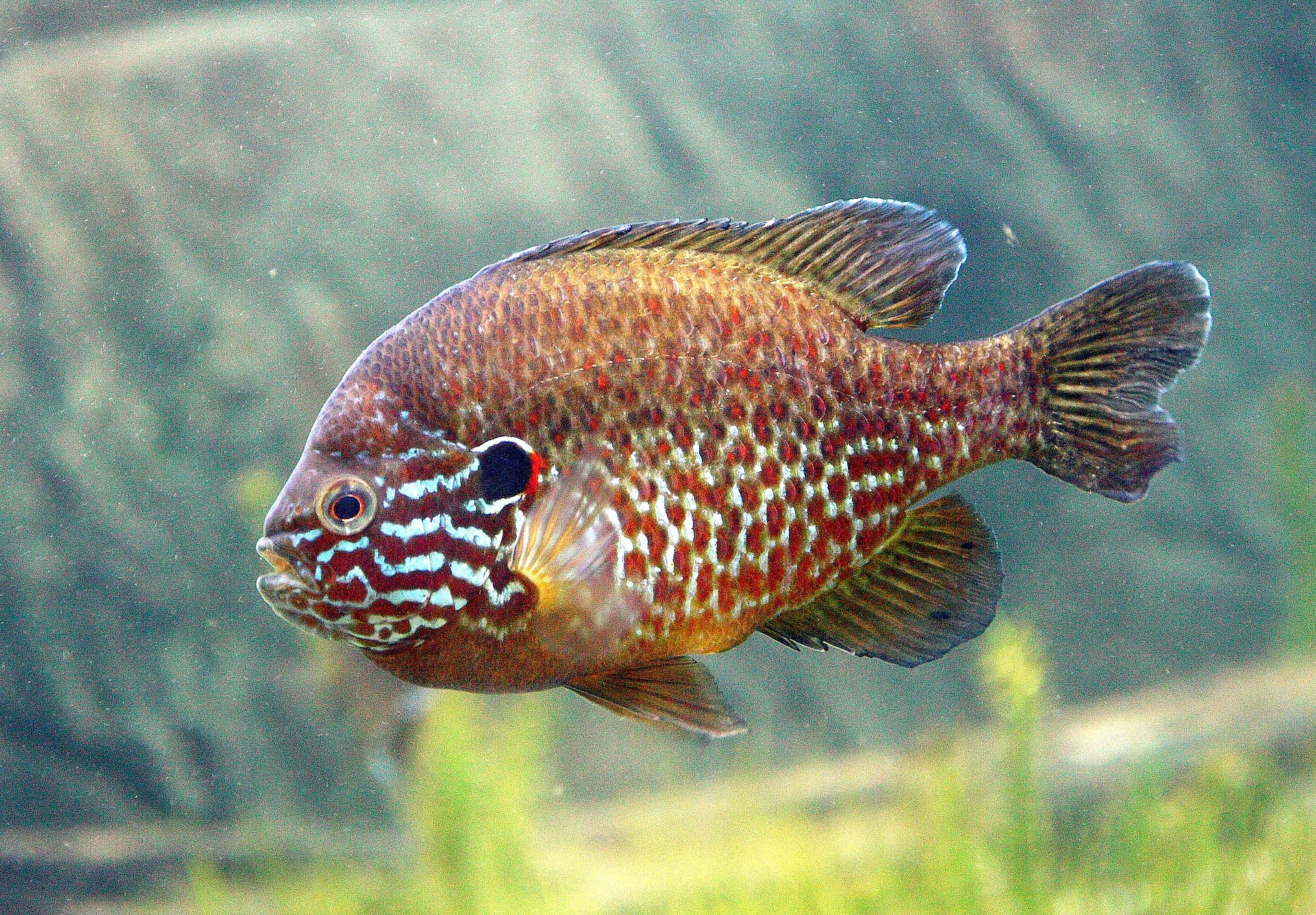 A pumpkinseed sunfish.