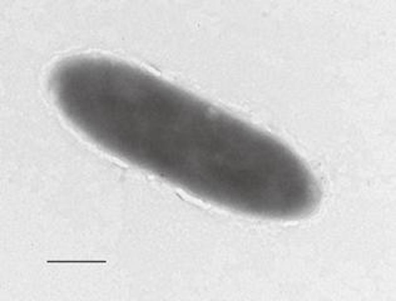 An expedition to collect samples of the microbial population at the deepest part of the Mariana Trench (some 11,000 meters down) has revealed a new 'oil-eating' bacteria. / Credit: University of East Anglia