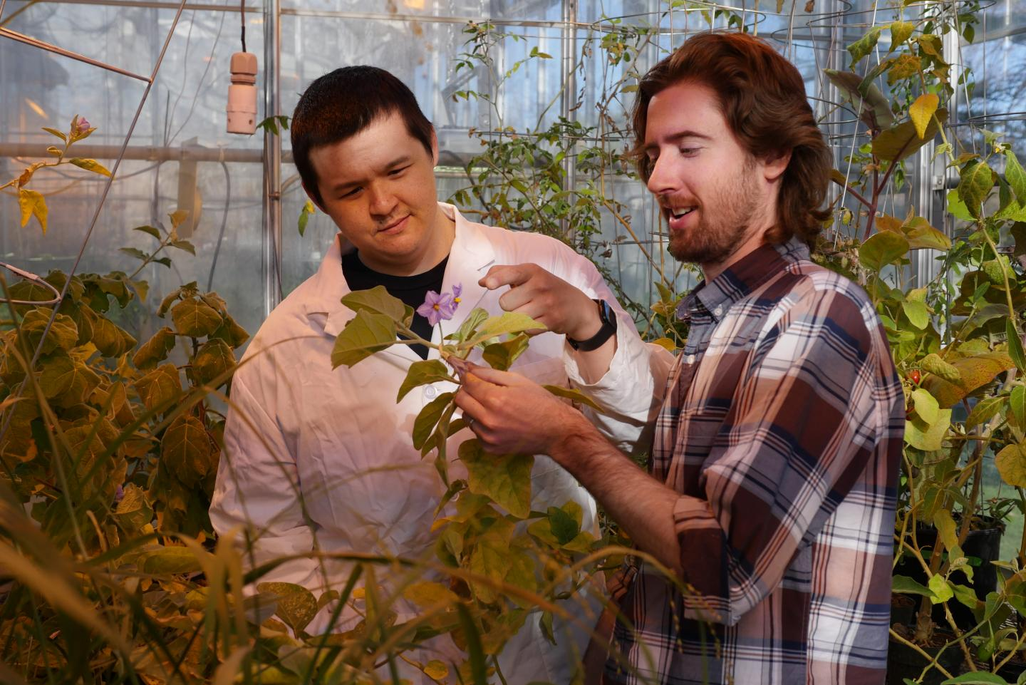 Dan Lybrand and Bryan Leong, MSU graduate students and study co-authors, examine glandular trichomes on the Solanaceae plant's leaf surface. / Credit: Michigan State University