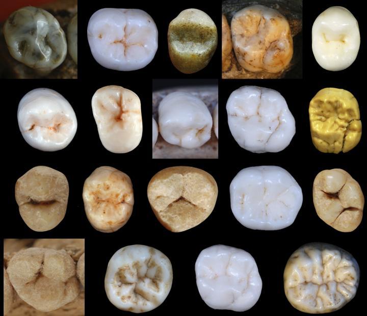 Dental morphology / Credit: Dr. Aida Gómez-Robles