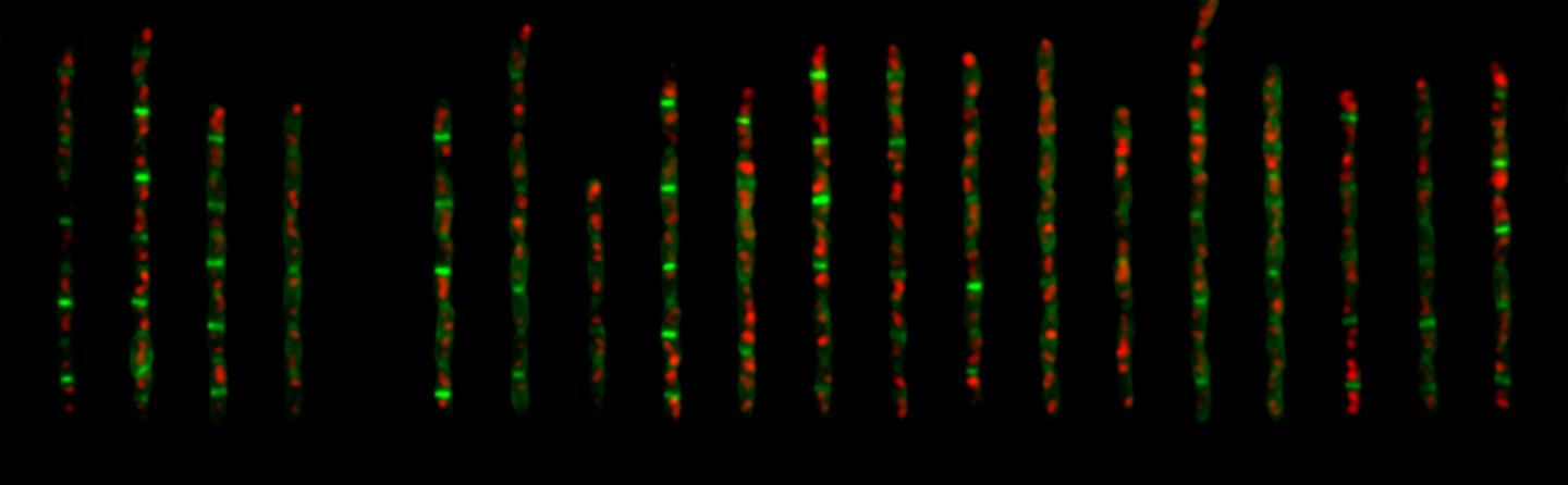 These are E. coli cells expressing fluorescent fusion proteins of the replisome and division ring in two colors./ Credit: Jun Lab, UC San Diego