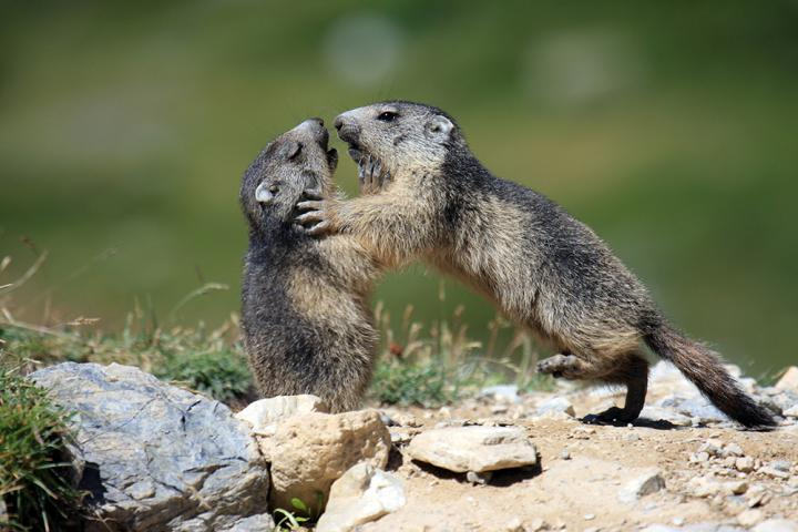 Playing marmots. / Credit: Carole and Denis Favre-Bonvin