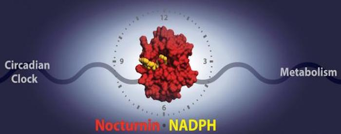 A new study reveals the mechanism by which the circadian clock enzyme Nocturnin interacts with its target, NADPH, to affect energy regulation and metabolic functions. / Credit: Michael Estrella, Jin Du and Alexei Korennykh, Princeton University