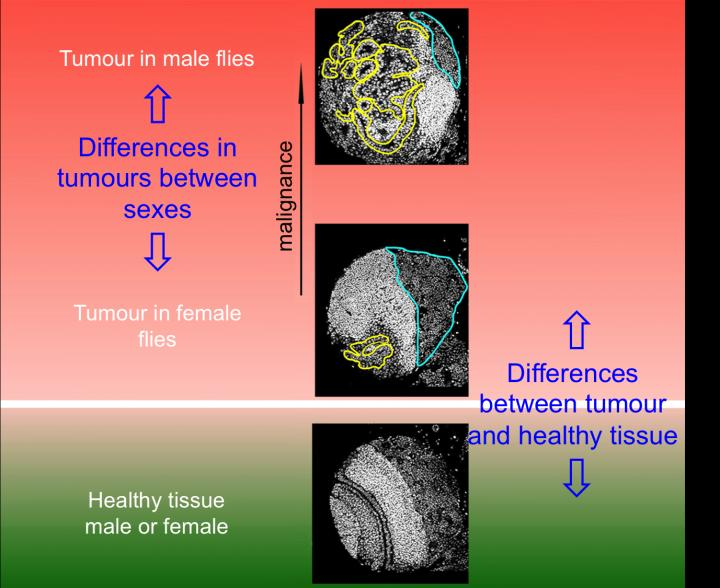 Differences between tumours in male and female vinegar flies. / Credit: Cayetano González, IRB Barcelona.