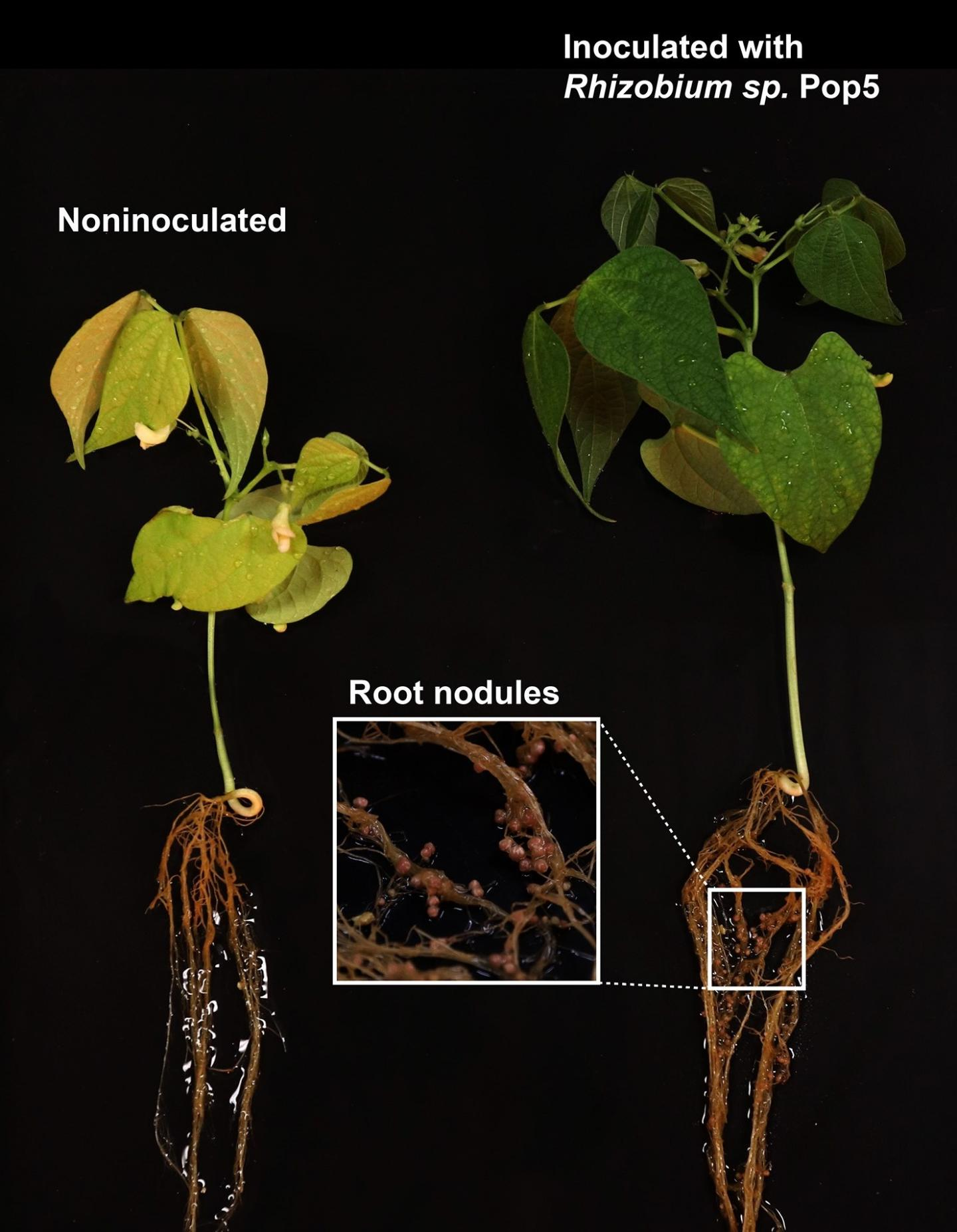 The bacterium that produces the antibiotic phazolicin forms nodules on bean plant roots, resulting in a more robust plant (right) than on the left. / Credit: Dmitrii Y. Travin