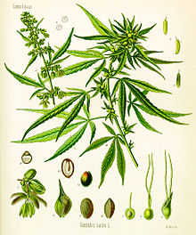 Cannabis illustration in Köhler's Book of Medicinal Plants, 1897, credit: public domain