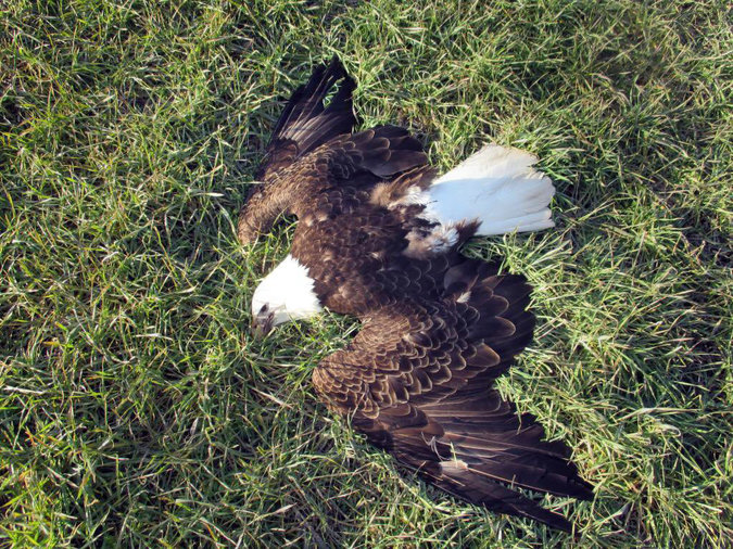 13 American Bald Eagles have been found dead in Maryland. Investigations are still pending results.