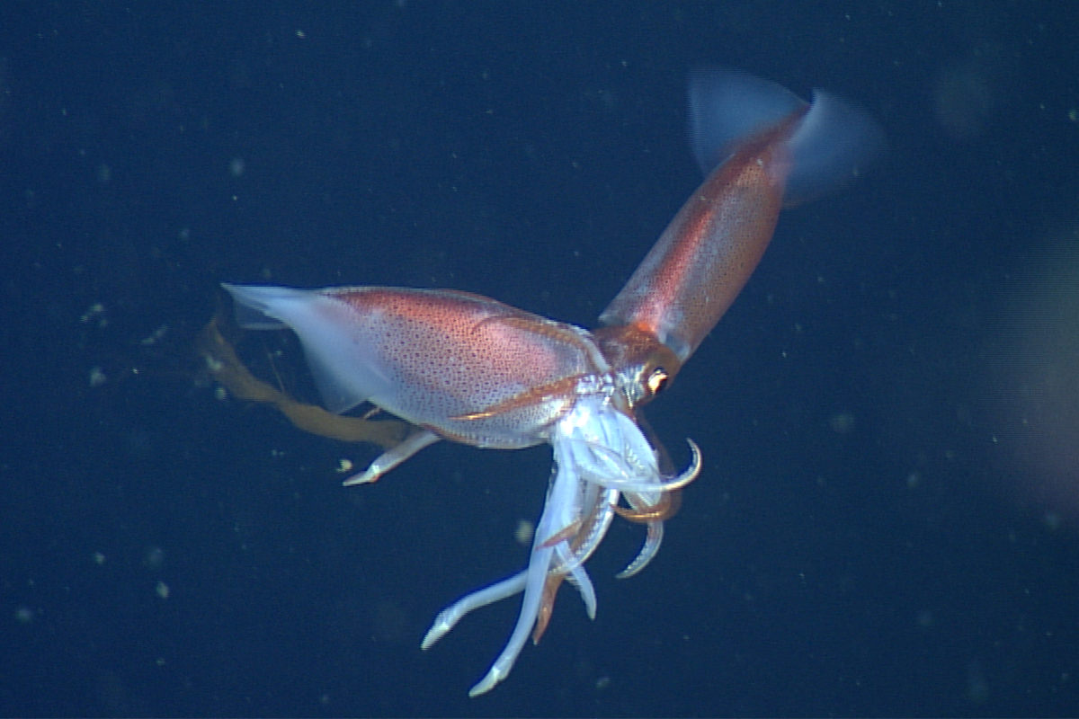 Scientists observed squid eating one another up to 2,000 meters below the surface for science.
