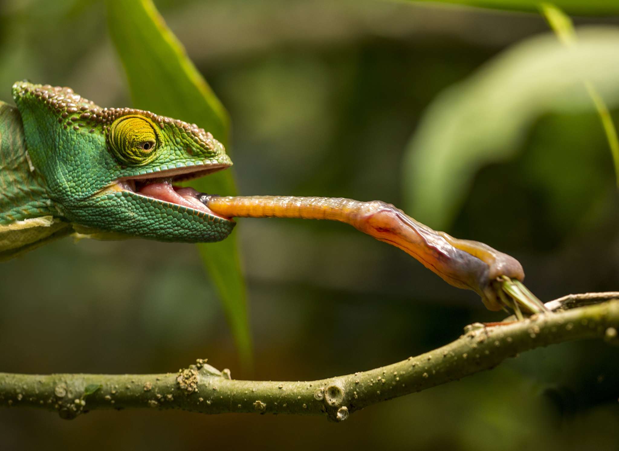 Chameleons don't have manners; they just fling their tongues to capture prey.