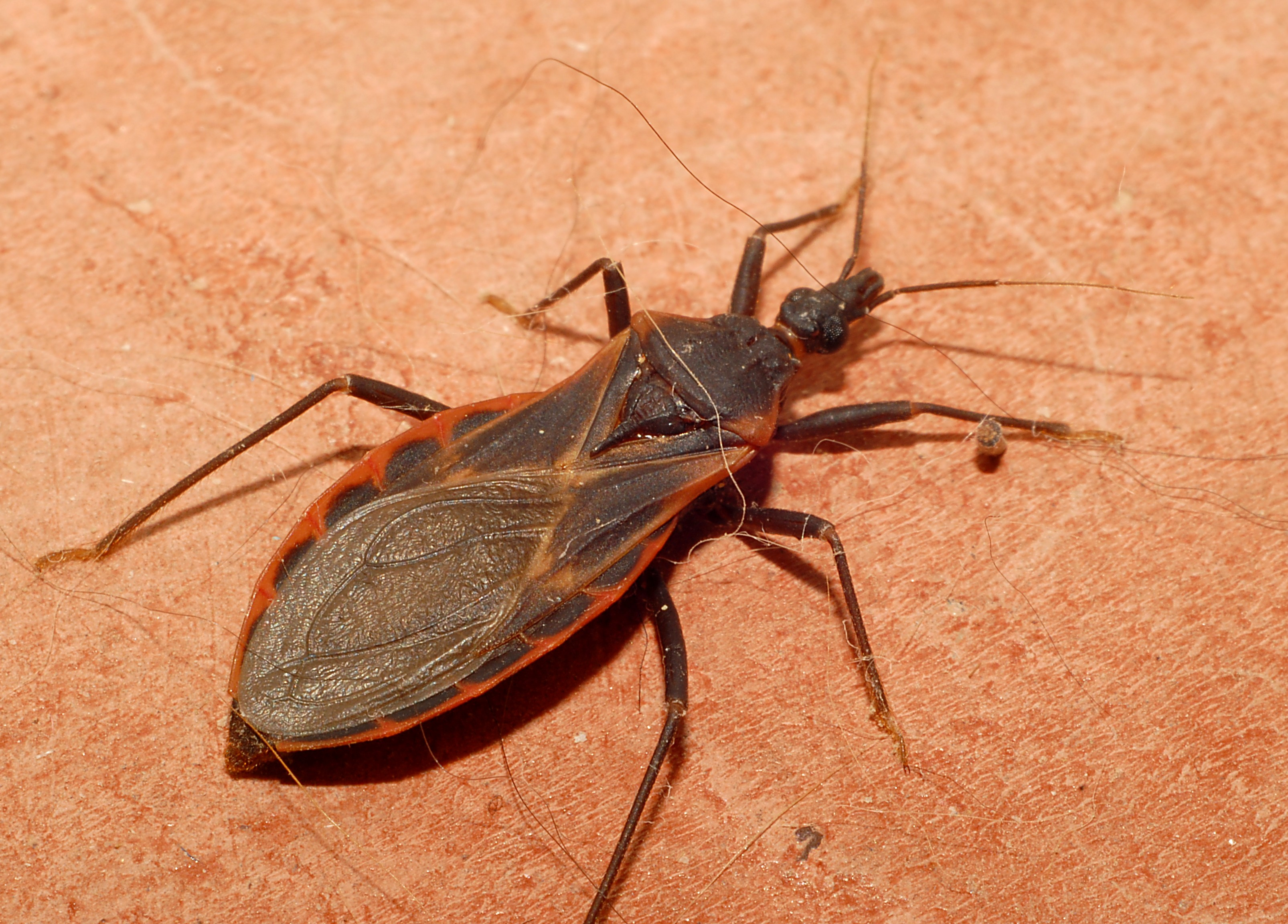 "Triatomine Bugs, or ""Kissing bugs"". Credit: Glenn Seplak"