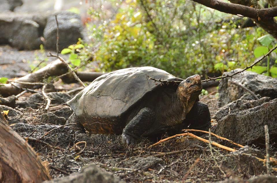 The Fernandina Giant Tortoise.