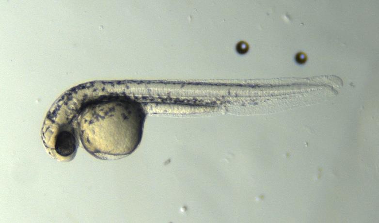 A zebrafish embryo / Credit: C Leitch