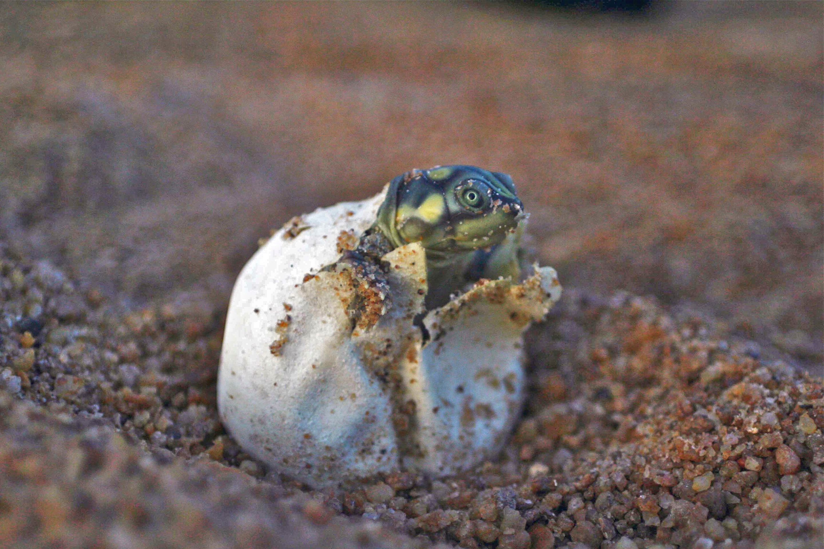 Giant South American Turtle hatchlings are making a comeback thanks to local conservation efforts.