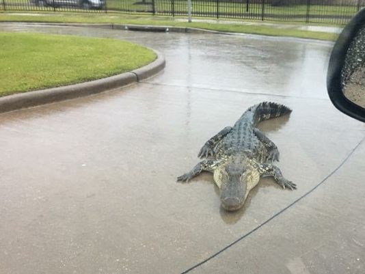 This image of an alligator was snapped by the Fort Bend County Sheriff's Office amid flooding in Texas.
