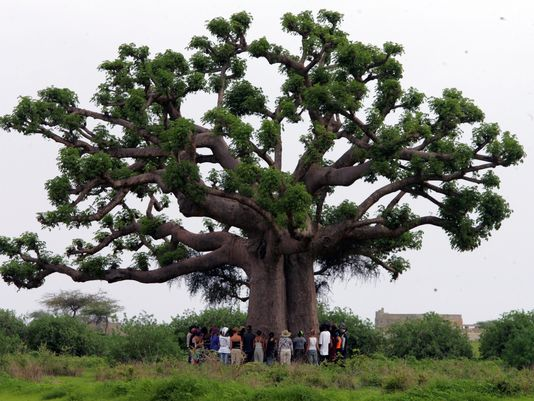 African Baobab trees can grow to be enormous.