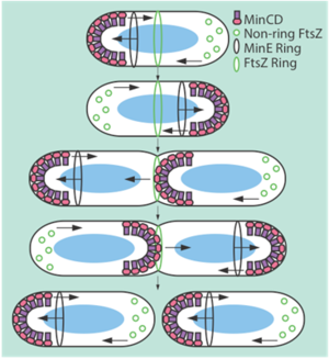 The Min system inhibits FtsZ ring formation.