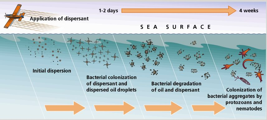 chemical dispersants used in bioremediating oil Oil-dispersing chemicals used chemical detergents may make gulf oil disaster worse, say experts when they use a dispersant, it's taking the oil.