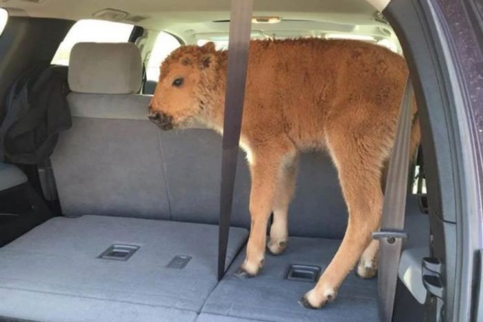 A baby bison was scooped up by two worried park-goers.