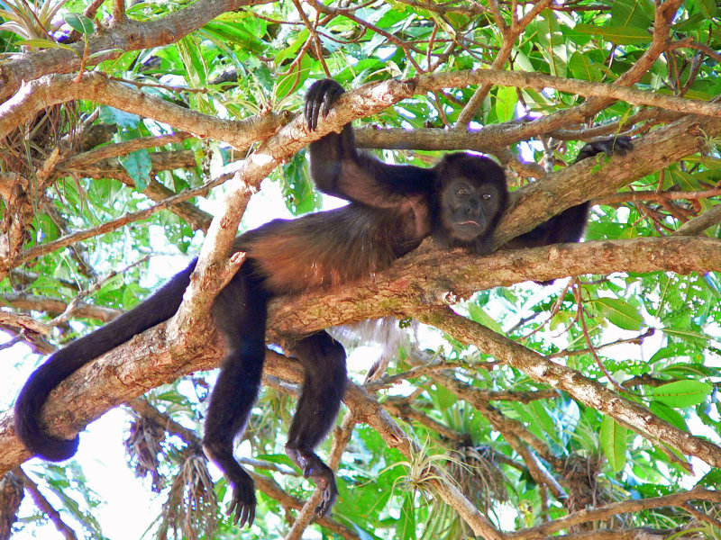 A mantled howler monkey