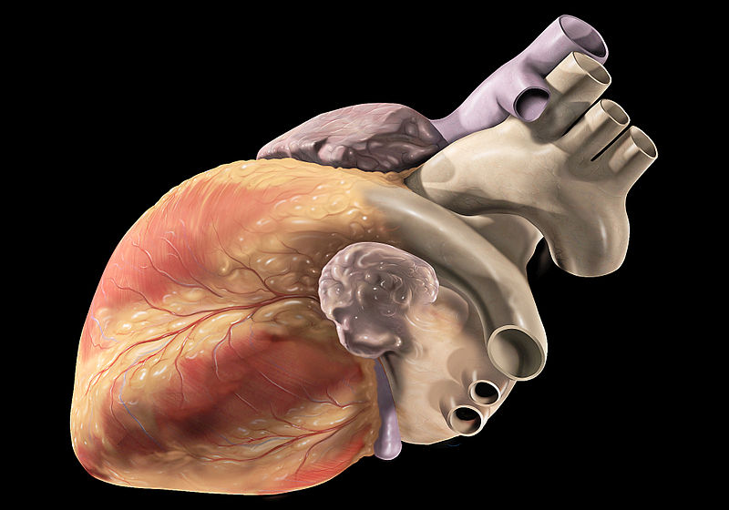 External anatomy of the normal human heart, oblique view of left heart structures. Credit: Patrick J. Lynch