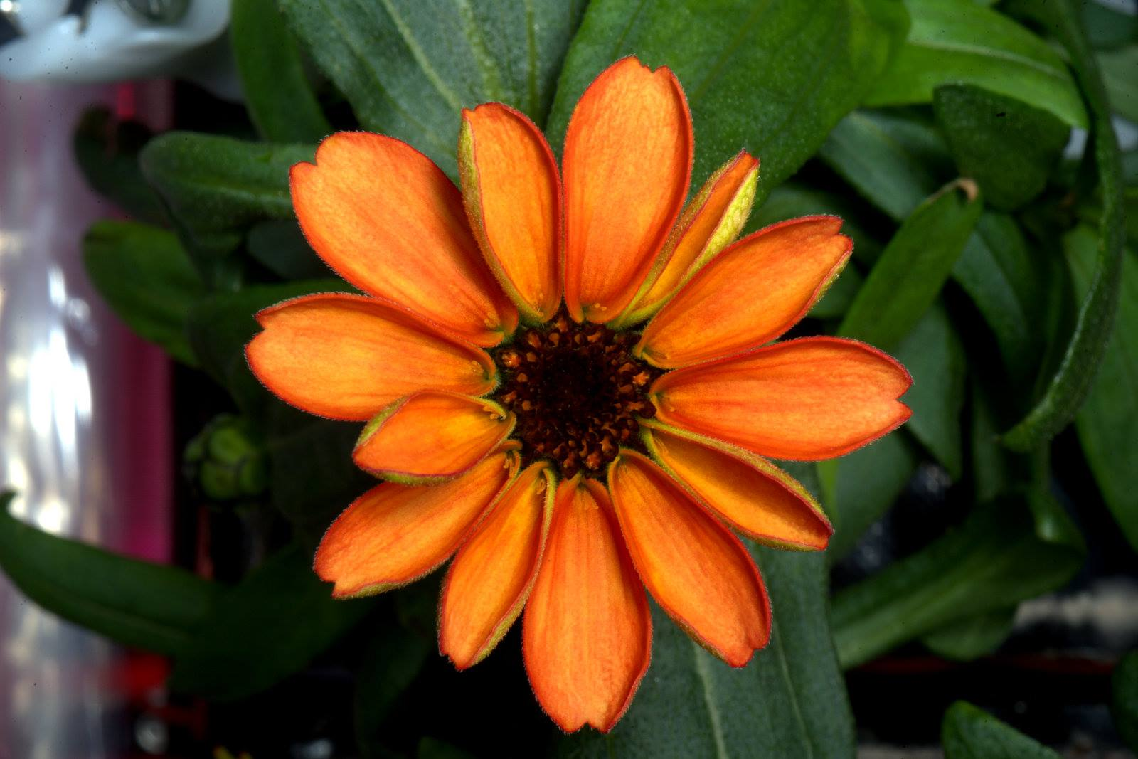 Scott Kelly shared this photo of an orange zinnia flower growing aboard the ISS.