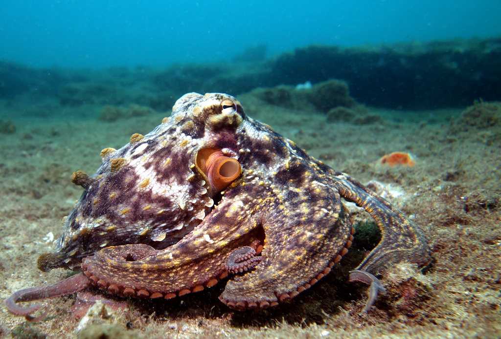 Octopus tetricus is the species used in the research to learn more about the color changes.