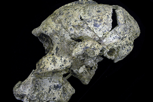 A partial skull used in mapping the ear structure of early humans