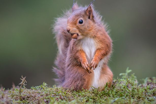 Red squirrels throughout the UK are reportedly carrying different forms of Leprosy.
