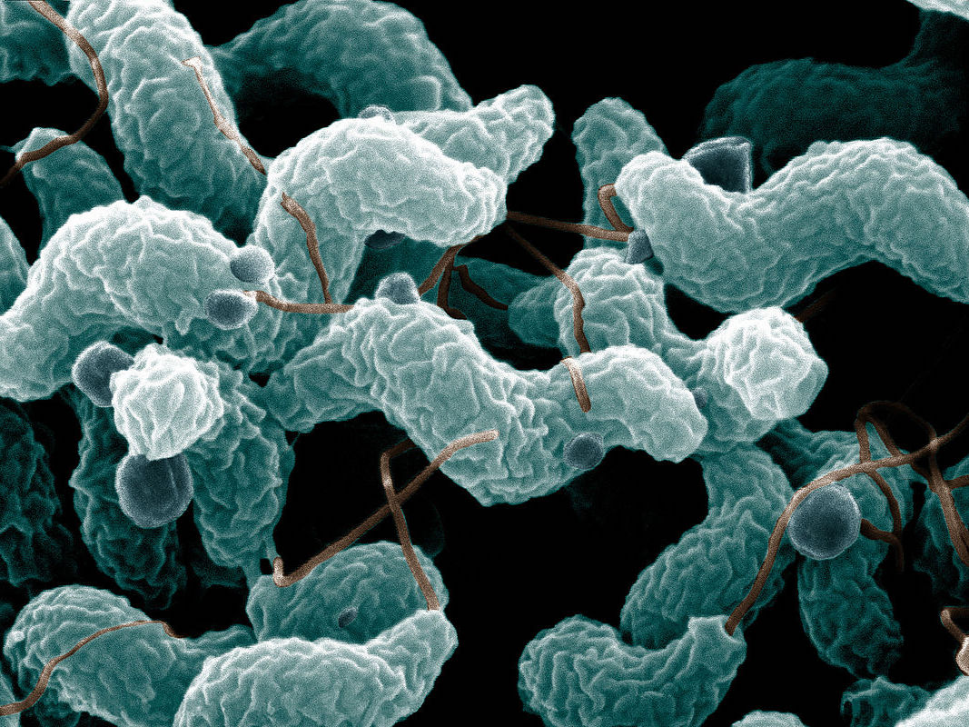 Gut bacteria / Credit: Wikipedia Commons