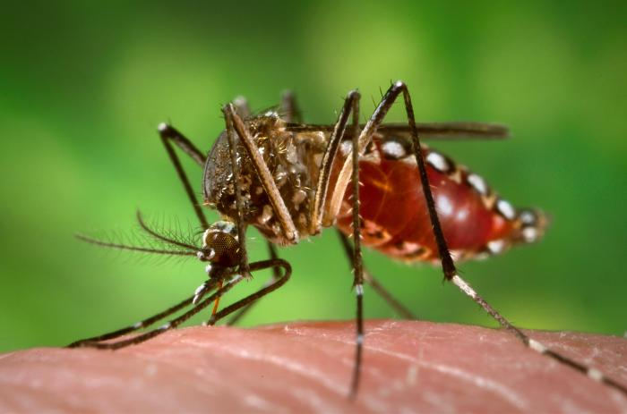 """A female Aedes aegypti mosquito, the species responsible for spreading Zika virus, as she obtains a """"blood meal."""" Source: CDC"""