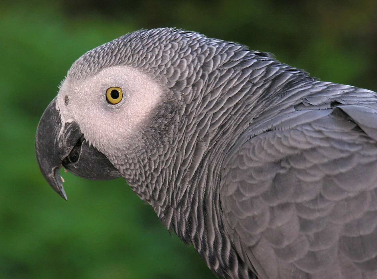 The African Gray Parrot's funny reputation is leading to its downfall in wild numbers.