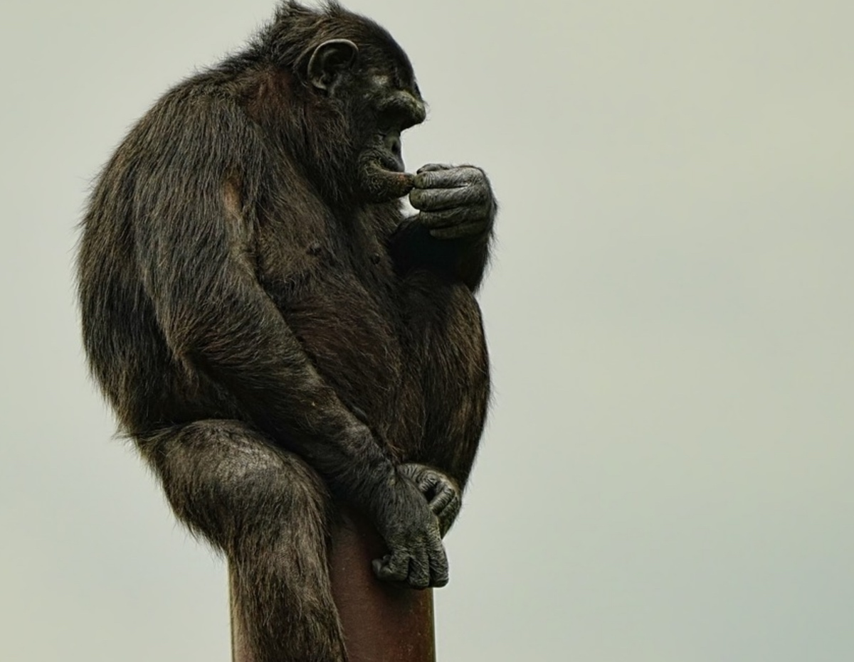 Heat stress seems obvious in Savana-based chimpanzees, according to new research.