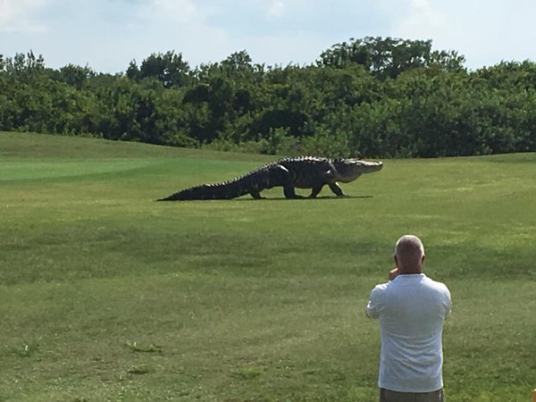A gigantic gator is seen roaming the lands of the Buffalo Creek Golf Course in Florida.