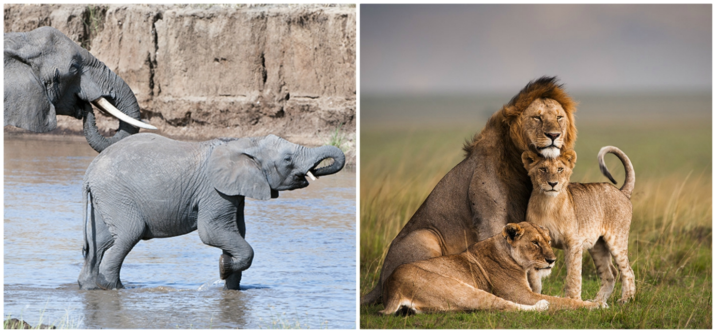 African elephants and lions, credit: African Wildlife Foundation