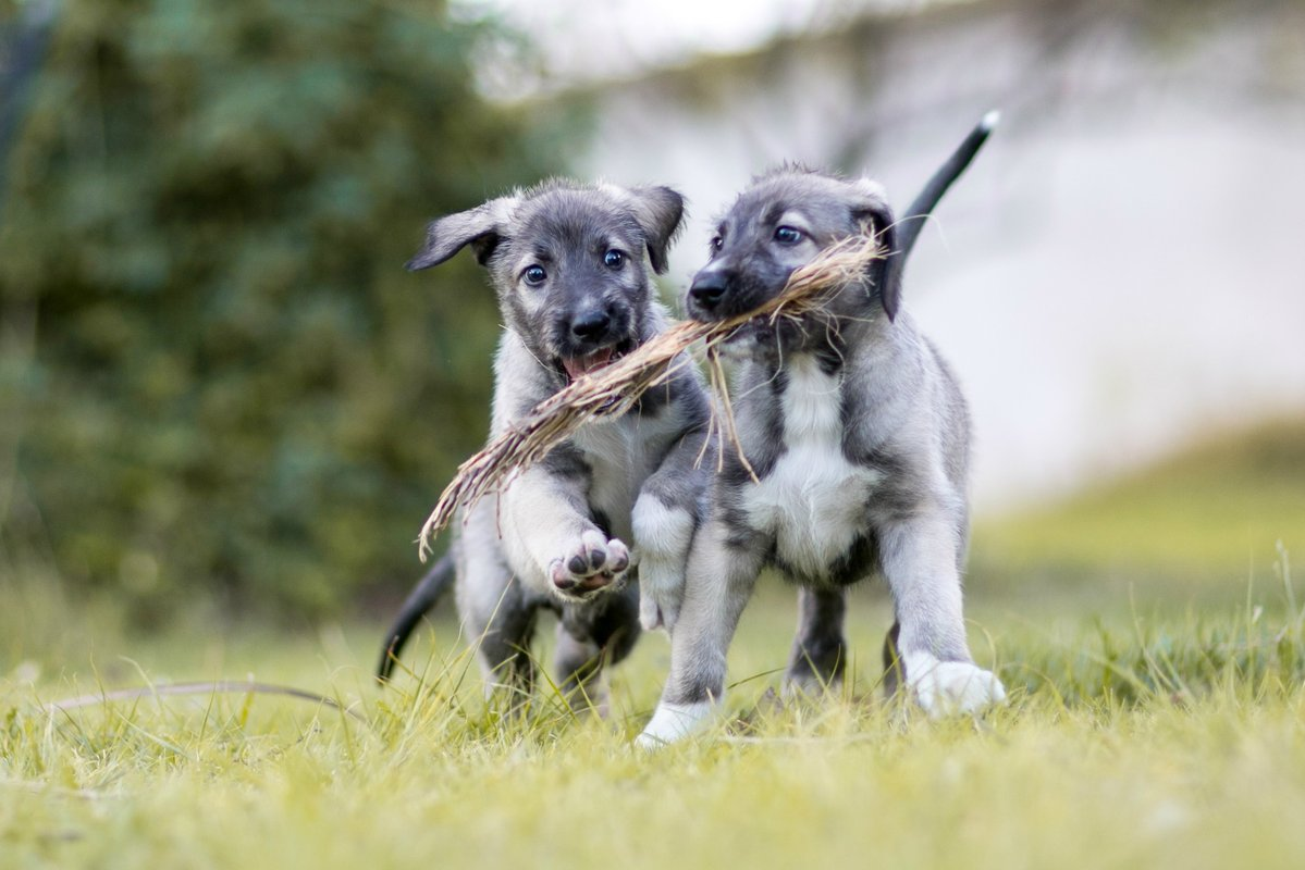 The two identical twin puppies run while playing with a stick.