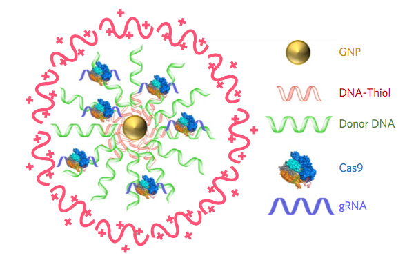 CRISPR-Gold is composed of 15 nanometer gold nanoparticles that are conjugated to thiol-modified oligonucleotides (DNA-Thiol), which are hybridized with single-stranded donor DNA and subsequently complexed with Cas9 and encapsulated by a polymer that disrupts the endosome of the cell. / Credit: UC Berkeley