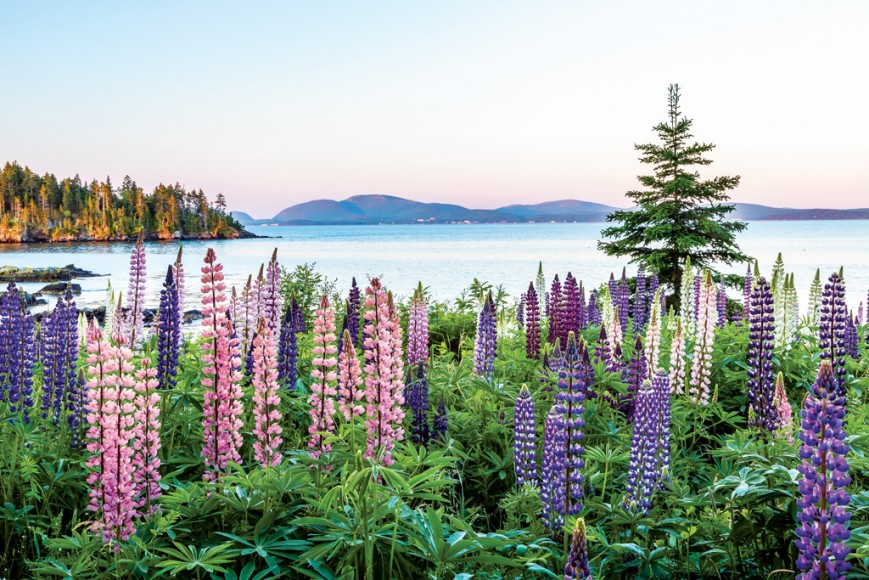 A glimpse of Maine's famous wildflowers. Photo: Down East Magazine