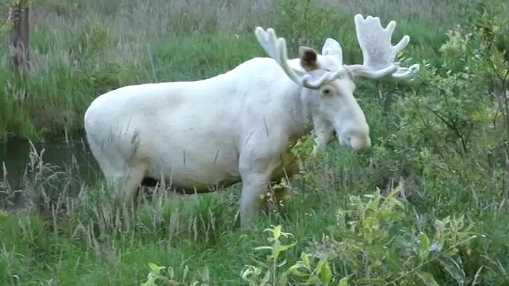 The white moose is a rare sight in Sweden.