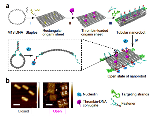 a) Design and characterization of DNA origami; b) Atomic force microscopy images of DNA nanorobots in open and closed state.  Coursey: Nature Biotechnology