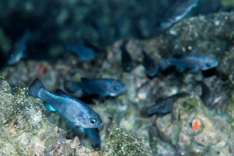 Devils Hole pupfish. Photo: U.S. National Park Service.