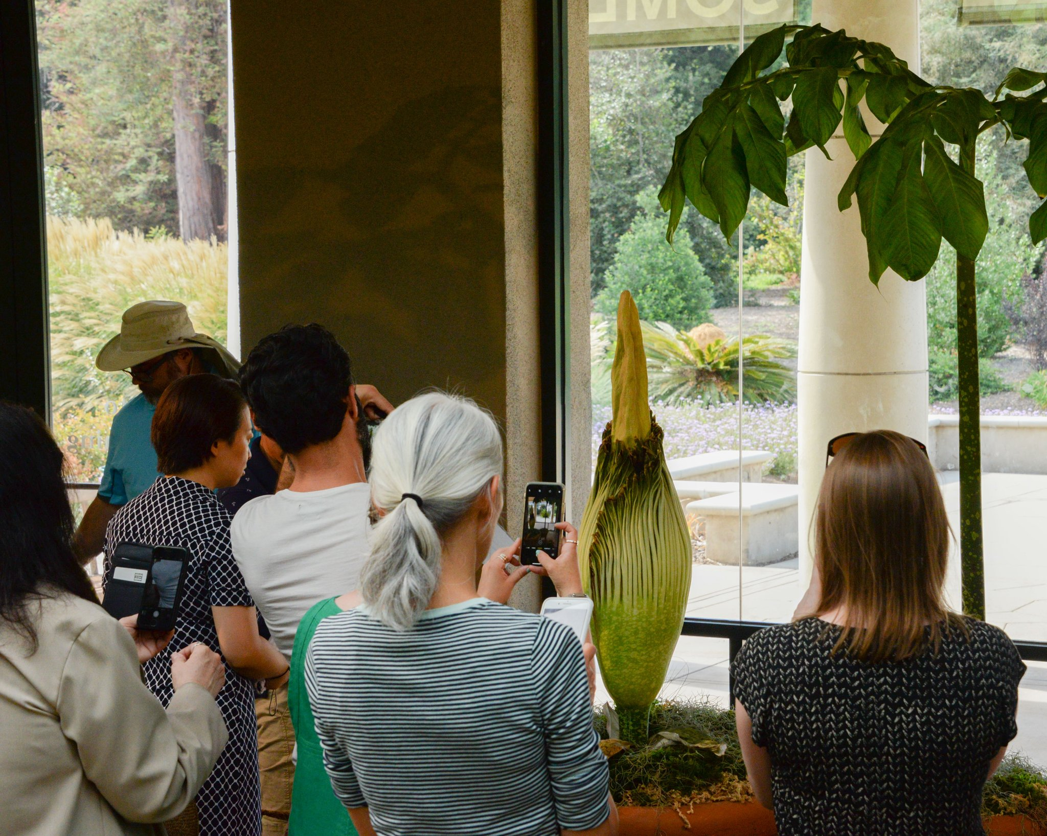 A view of the 44-inch corpse flower at Huntington Library in California.