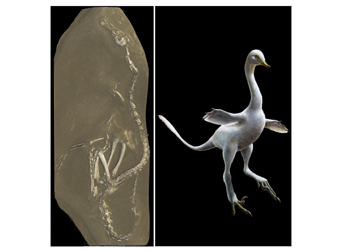 An image of the fossil beside an artist's rendition of what the creature might have looked like.