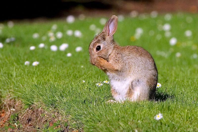 Has the European rabbit found a new way to survive in Australia's mountains?