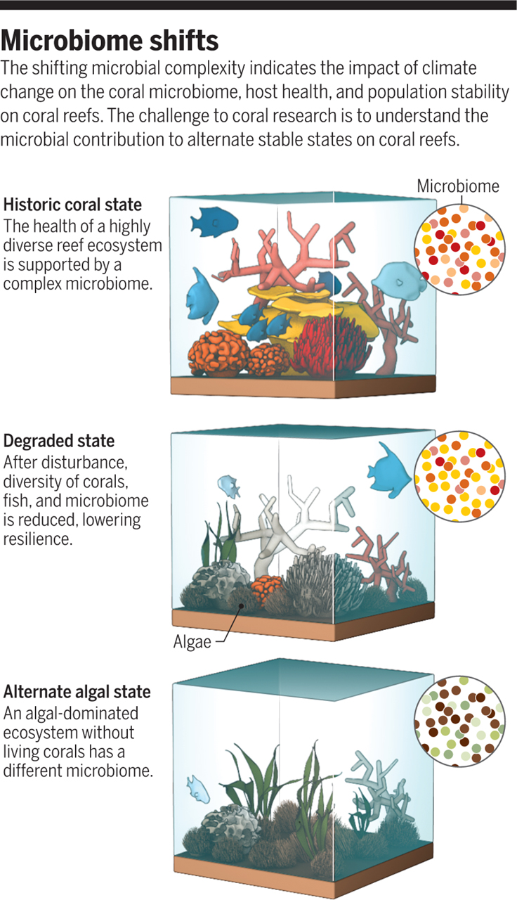 In this Illustration from V. Altounian/Science, shifting microbial complexity shows the impact of climate change on the coral microbiome, host health, and population stability on coral reefs. A challenge to this research is understanding the microbial contribution to alternate states of stability on coral reefs.