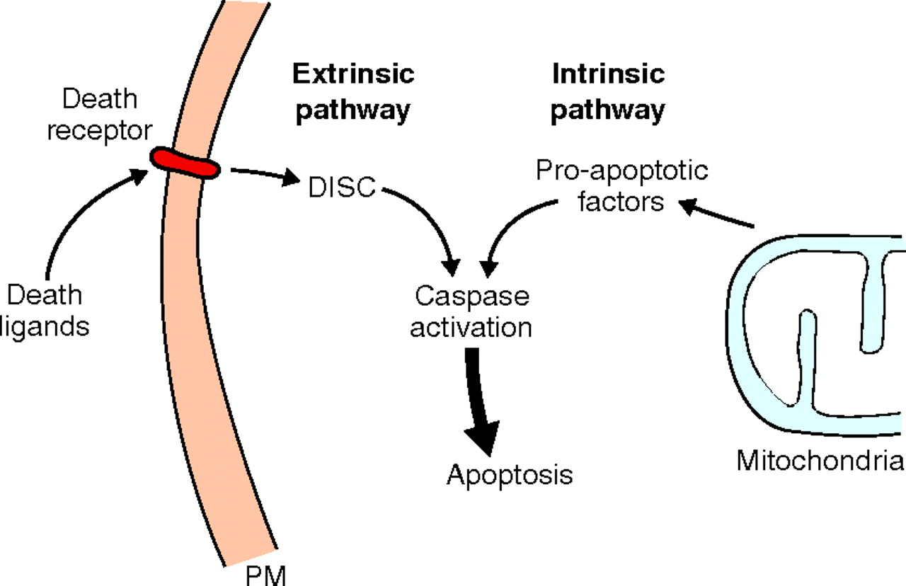 Adapted from Journal of Cell Science, by Guadamillas and colleagues.