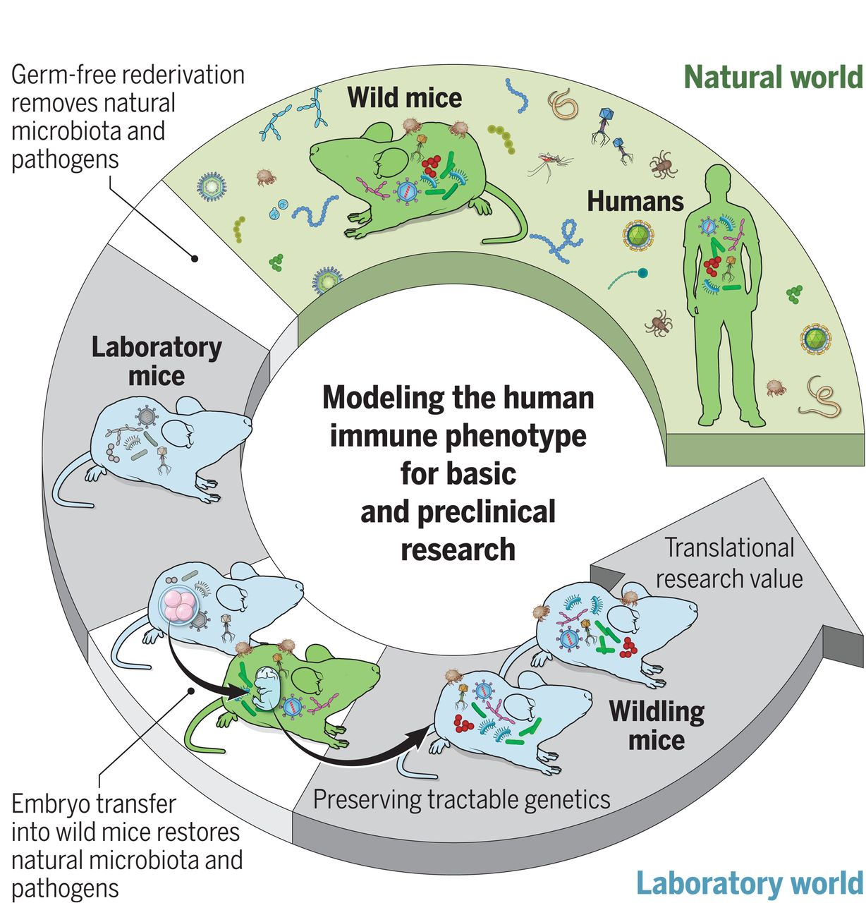 Natural microbes can help reduce shortcomings of current mouse models. The C57BL/6 genotype was preserved while generating a natural microbiome by using wild mice as surrogates for C57BL/6 embryos. The resulting colony of wildings carried a microbiome that was resilient and stable over time, through challenges. In immunological tests, wildling mice had higher translational research value. / Credit: Science 2019  Rosshart et al