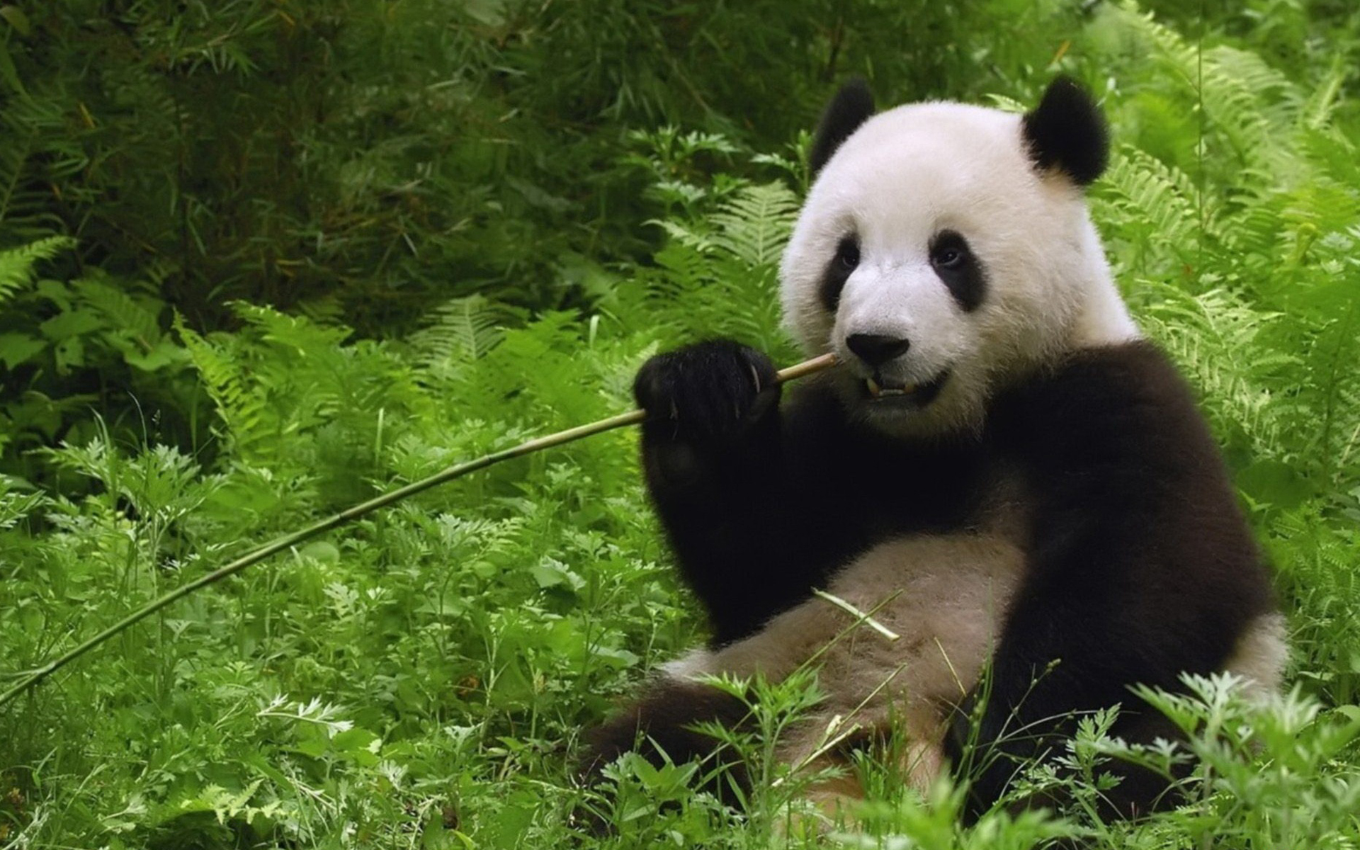 climate change is the biggest hurdle for reintroducing panda