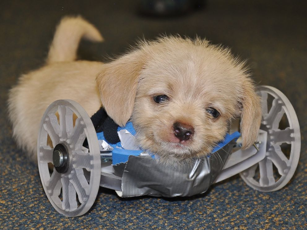This puppy was born with only two rear legs and no front legs.