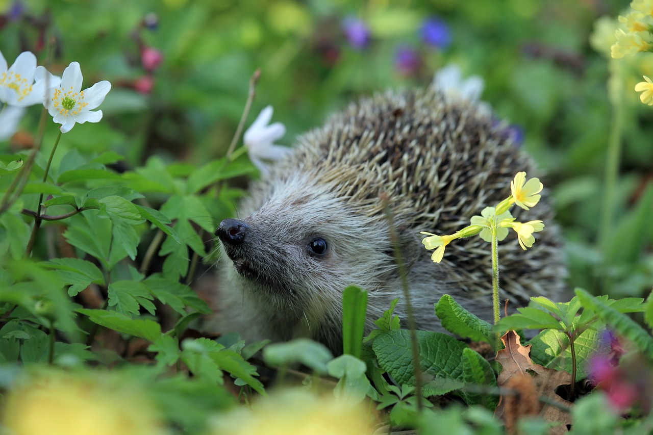 Humans could be making it harder for hedgehogs to find food and shelter in the wild.