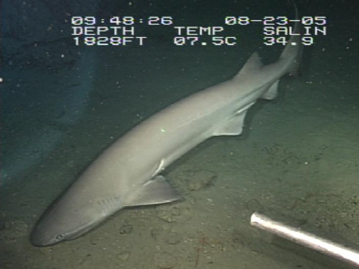 A sixgill shark pictured in the Gulf of Mexico.